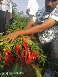 315 Hybrid Chilli Seeds, For Cultivation, 10 Gm