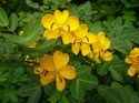 Indian Senna Extarct 60% Calcium Sennosides By HPLC Extract
