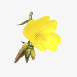 Evenig Primrose Extract