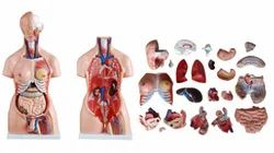 Human Torso Life Size-23  Detachable Parts