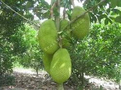 Red Jackfruit Plant