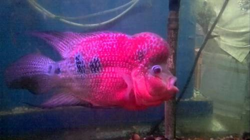 Wholesale Trader Of Floran Fish  Discus Stock Fish By -6029