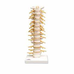 Human Thoracic Spinal Column Models