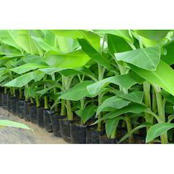 Banana Tissue Culture Plants Wholesale Price For Kela Tissue