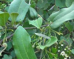 Aadu Thinnaa Palai Vithai - Aristolochia Bracteolata