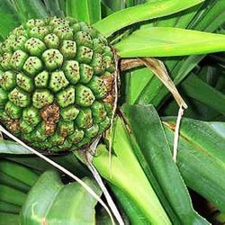 Kewda Flower - Fragrant Screw Pine - Umbrella tree - Pandanus odorifer