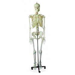 Human Skeleton Life Size