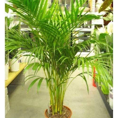 areca palm plant at rs 100 set indoor plant green bharat