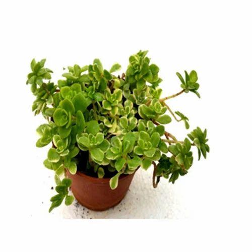 Golden Japanese Sedum Succulent Plant