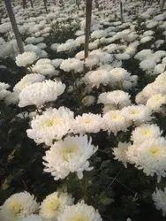Chrysanthemum snow ball Flower Plant