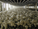Ss/ms Silver Or Cream Mushroom Farming Services