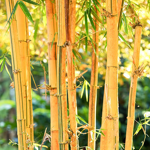 golden bamboo at rs 110 piece vaghasi anand id 14939879262