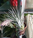 Well Watered Hybrid Air Plants For Decoration