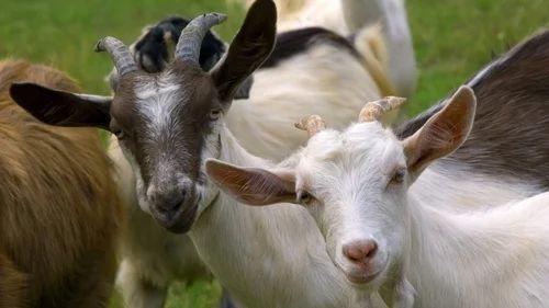 Male & Female Goat