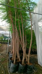 Delonix Regia Plant