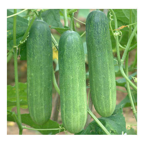 Icon Hansa Cucumber Seed, Pack Type: Poly Pouch