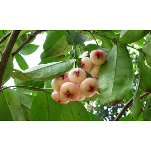 Pictures Of Star Apple Fruit