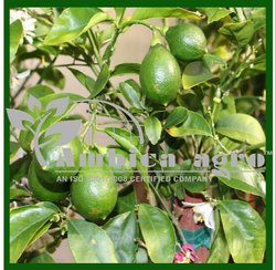 Sarbati Lemon Tiissue Culture Plants