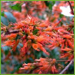 Dhaiphool / Fire Flame Bush