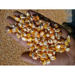 Dried Corn Seed, Pack Size: 50 Kg