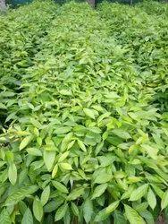 Mohuguni Plants