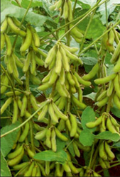 Ajeet Shreemanti Soybean