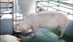 Yorkshire Pigs Pig Farm Plastic Slatted Flooring
