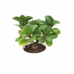 Kalanchoe Thyrsiflora Echeveria Succulent Plant