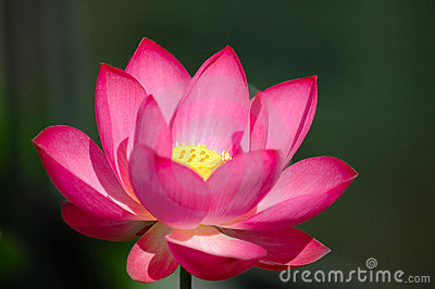 Lotus Flower Natural At Rs 20 Piece Mehdipatnam Hyderabad Id