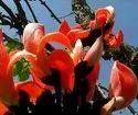 PALASH(Tesu) FLOWER