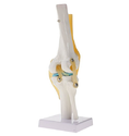 Kay Kay Industries Knee Model, Size: Life Size, For Demonstration Model