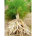 White Shatavari Plant