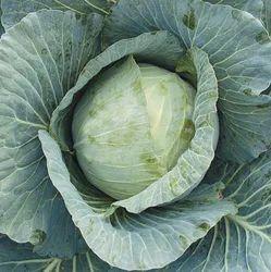 Cabbage Elro