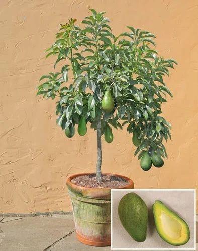 Avokado Tre Plante