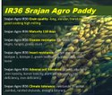 Paddy IR36 World Most Grown Very High Yielding Rice Disease Insect Pest Resistant Soil Tolerant