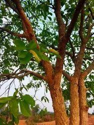 Terminalia Chebula Plants