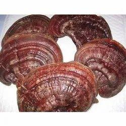 Dry Ganoderma Mushroom