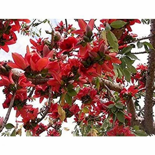 Bombax Ceiba Seed, Seeds And Plant Saplings | Sri Sai Forestry in