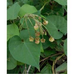 Bibidang Natural Herbal Extract