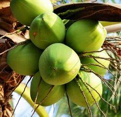 Pollachi Coconut A Grade Coconut