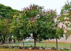 Lagerstroemia Thorelli Plant