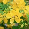 Senna / Cassia Angustifolia - Herbal Extract Powder