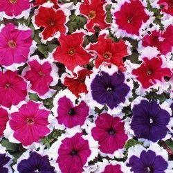 Petunia Mix Flower Seeds