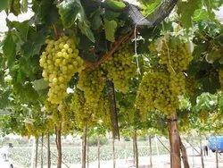 A Grade Green Grapes, For Human Consumption