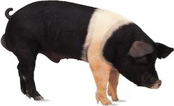 Hampshire Ghungroo Cross Pig
