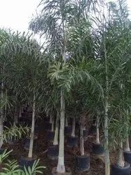 FOXTAIL PALM 10FEET