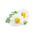 Camomile Extract