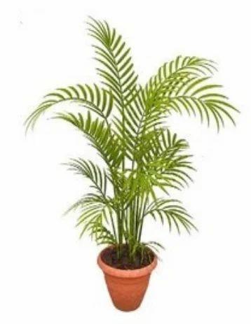 Areca Palm Plant Areca Palm Plant Areca Nut Plant Greenshaala