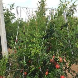 White Pomegranate Plant Supporting Rope for Agriculture