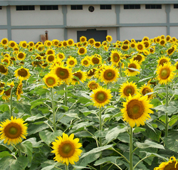 Sunflower Hybrids